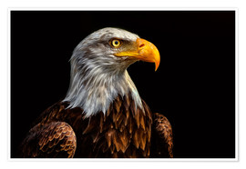 Premiumposter  bald eagles - Bettina Dittmann