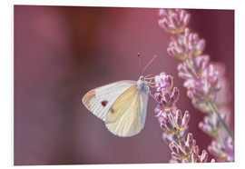 PVC-tavla  Pieris rapae - Bettina Dittmann