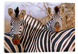 Akrylglastavla  Zebra friendship, South Africa - wiw