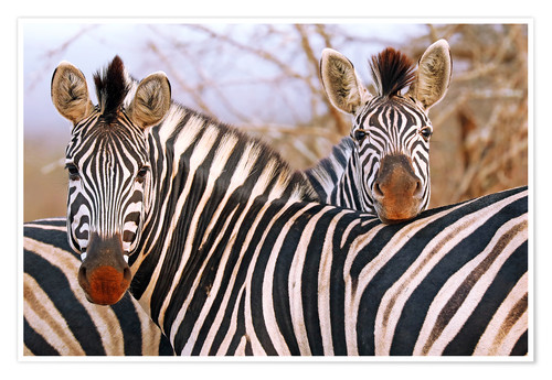 Premiumposter Zebra friendship, South Africa