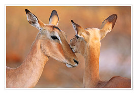 Premiumposter  Impala friends, South Africa - wiw