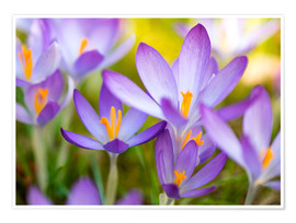 Premiumposter crocuses