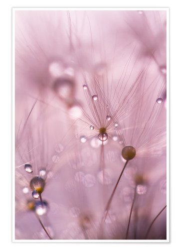Premiumposter Dewdrops on a dandelion seed