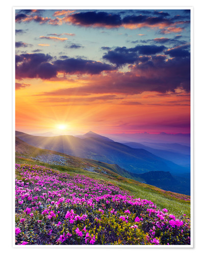 Premiumposter Rhododendron blossom in the Carpathians