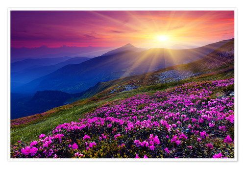 Premiumposter Rhododendron in the Carpathians