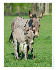 Premiumposter  Donkey mum and her little baby
