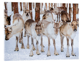 Akrylglastavla  Reindeer in winter in Lapland
