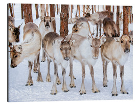 Aluminiumtavla  Reindeer in winter in Lapland