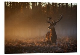 Akrylglastavla  Stag in autumn sunrise - Alex Saberi