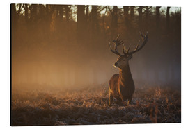 Aluminiumtavla  Stag in autumn sunrise - Alex Saberi