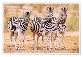 Premiumposter  Three Zebras, one is so tired - wiw