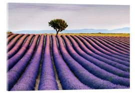 Akrylglastavla  Lavender field and tree at sunset, Provence - Matteo Colombo