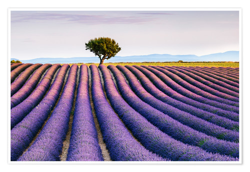 Premiumposter Lavender field and tree at sunset, Provence