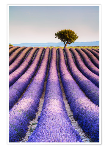Premiumposter Tree in a lavender field, Provence