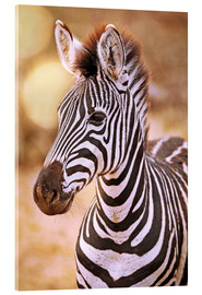 Akrylglastavla  Young Zebra, South Africa - wiw