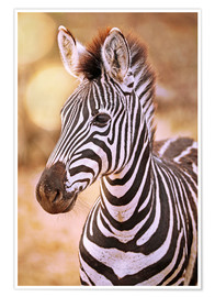 Premiumposter Young Zebra, South Africa