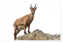 Poster  Ibex perched on rock isolated on white background - Fabio Lamanna