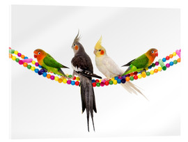 Akrylglastavla  Lovebirds and cockatiels