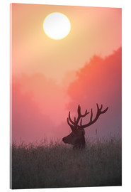 Akrylglastavla  A male deer Stag at sunset - Alex Saberi