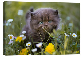 Canvastavla  kitten on a meadow in summer - Janina Bürger