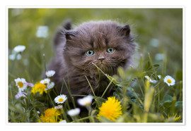 Premiumposter kitten on a meadow in summer