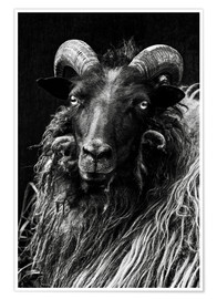 Premiumposter  Heidschnucken Sheep - Martina Cross