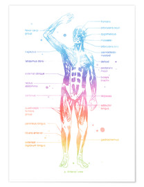 Premiumposter  Rainbow muscle system I. - Mod Pop Deco