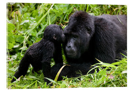 Akrylglastavla  Infant mountain gorilla with mother