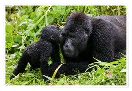 Premiumposter  Infant mountain gorilla with mother