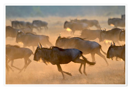 Premiumposter  Wildebeests during the great migration, Serengeti - age fotostock