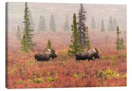 Canvastavla  Elks wander through the taiga - Alaska Stock