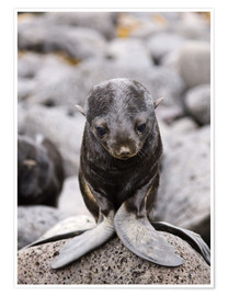Premiumposter  Little fur seal - Alaska Stock