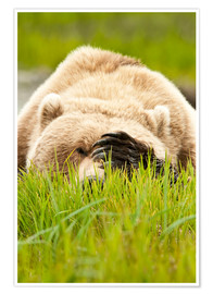 Premiumposter Brown bear with paw on his head