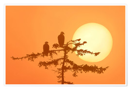 Premiumposter Silhouette of Bald Eagles