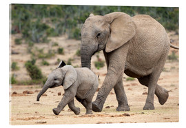 Akrylglastavla  African elephant and calf