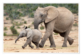 Premiumposter  African elephant and calf