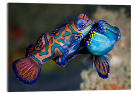 Akrylglastavla  Mating the mandarin fish - Reinhard Dirscherl