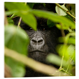 Akrylglastavla  A silverback gorilla in the undergrowth - John Warburton-Lee