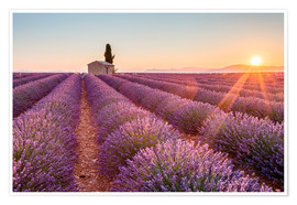 Premiumposter  Sunrise over lavender field - age fotostock