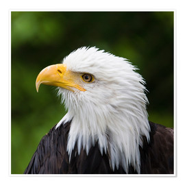 Premiumposter Profile of a bald eagle