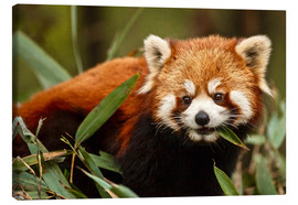Canvastavla  Red panda in Wolong - Jim Zuckerman