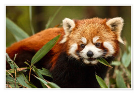 Premiumposter  Red panda in Wolong - Jim Zuckerman