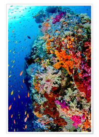 Premiumposter Coral reef in Indonesia