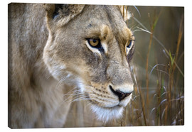 Canvastavla  Lioness in the grass - Janet Muir