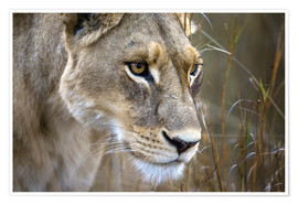 Premiumposter  Lioness in the grass - Janet Muir