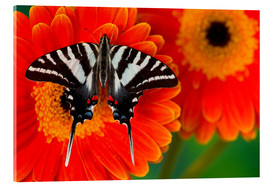 Akrylglastavla  Knight butterfly on gerbera - Darrell Gulin