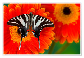Premiumposter  Knight butterfly on gerbera - Darrell Gulin
