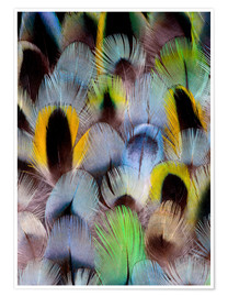 Premiumposter Feathers of a Rosella Parakeet