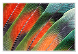 Premiumposter Fanned Agapornids feathers