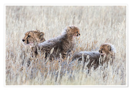 Premiumposter  Cheetah with cubs